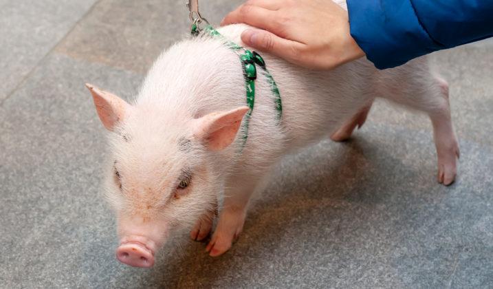 Prévention contre la peste porcine africaine